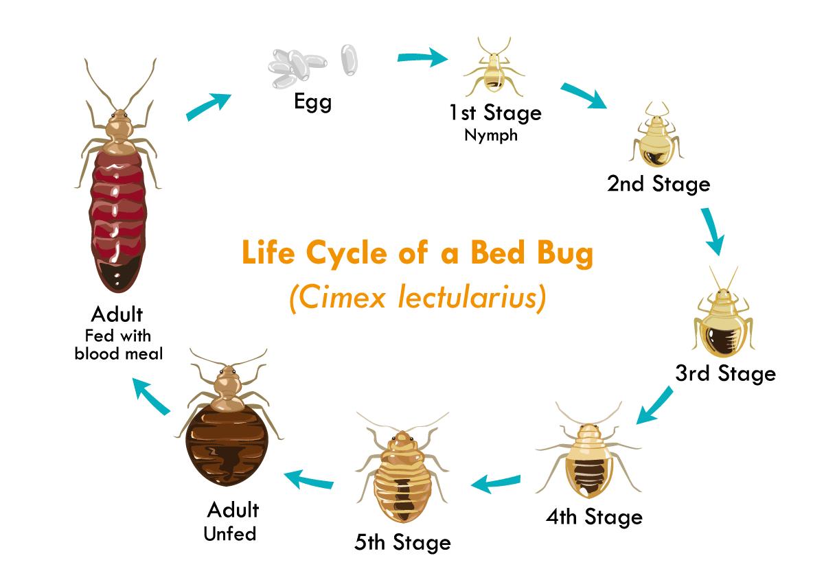 Der Lebenszyklus einer Bettwanze (Schematische Darstellung)