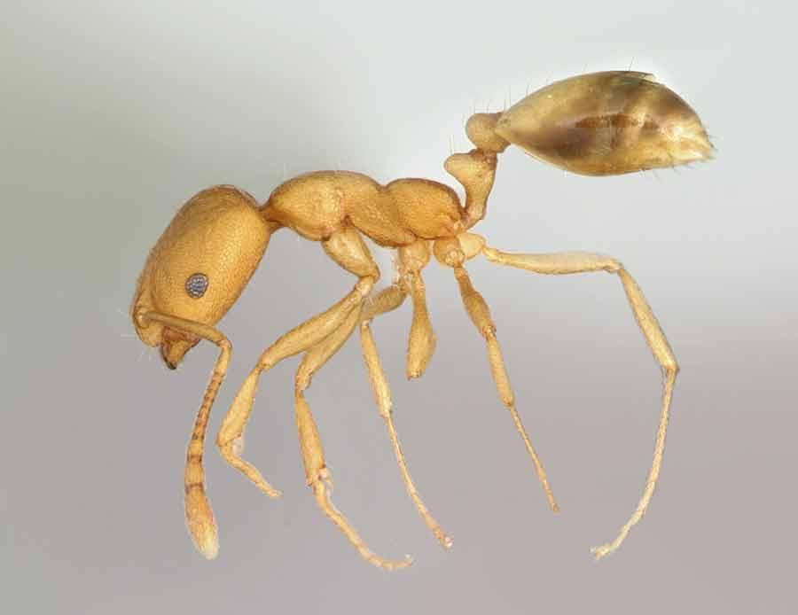 Eine Ameise vor grauem Hintergrund