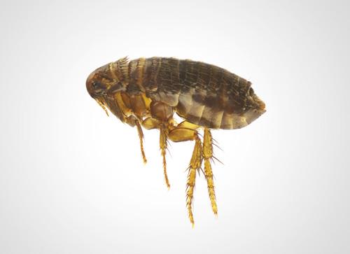Flöhe werden ebenfalls von Thermo-bug bekämpft