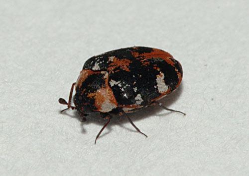 Der Teppichkäfer wird von Thermo-bug bekämpft