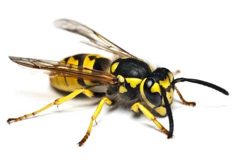 Eine Wespe auf weißem Hintergrund. Wespen können auch effektiv mit Thermo-Bug bekämpft werden